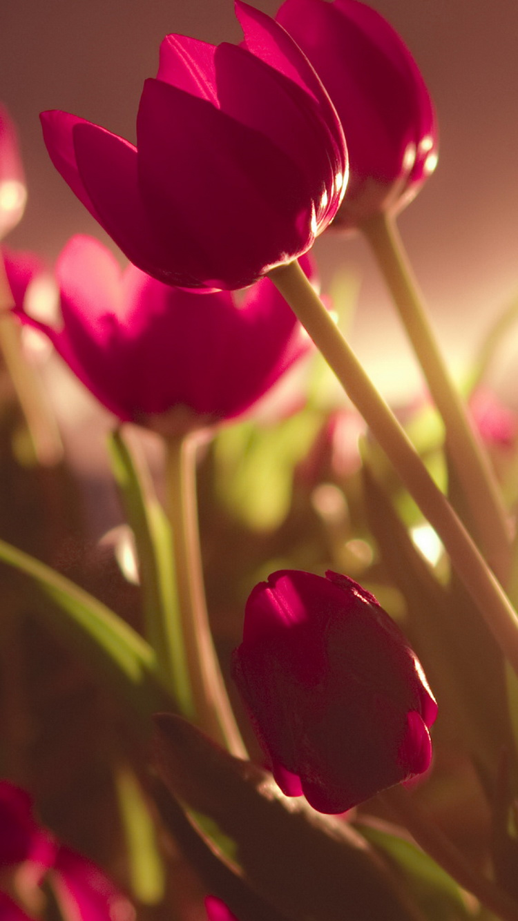 Beautiful-Tulips-Soft-Light-iPhone-6-Wallpaper.