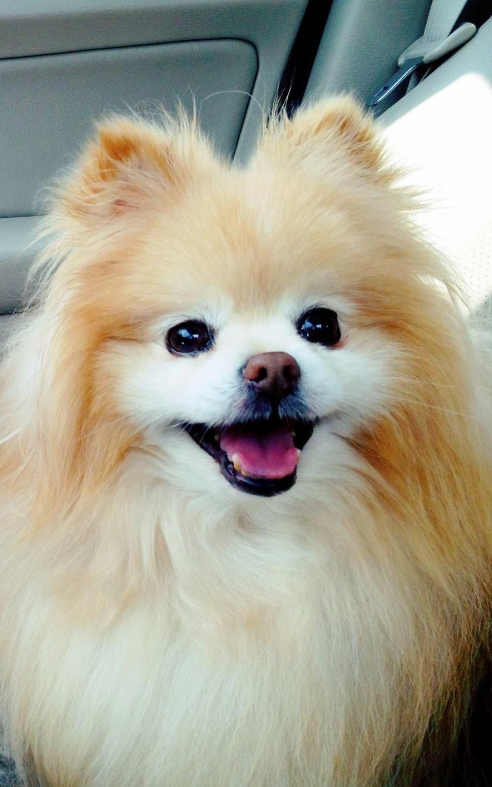 Cute-Boo-Pomeranian-iPhone-6-Plus