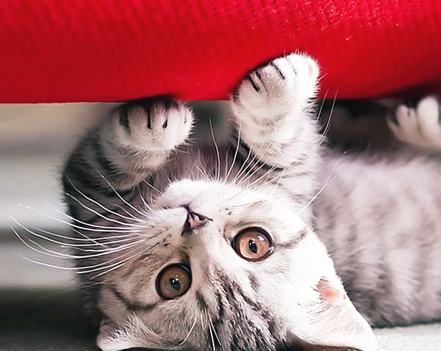 Cute-Kitten-Upside-Down-iPhone-5-Wallpaper-