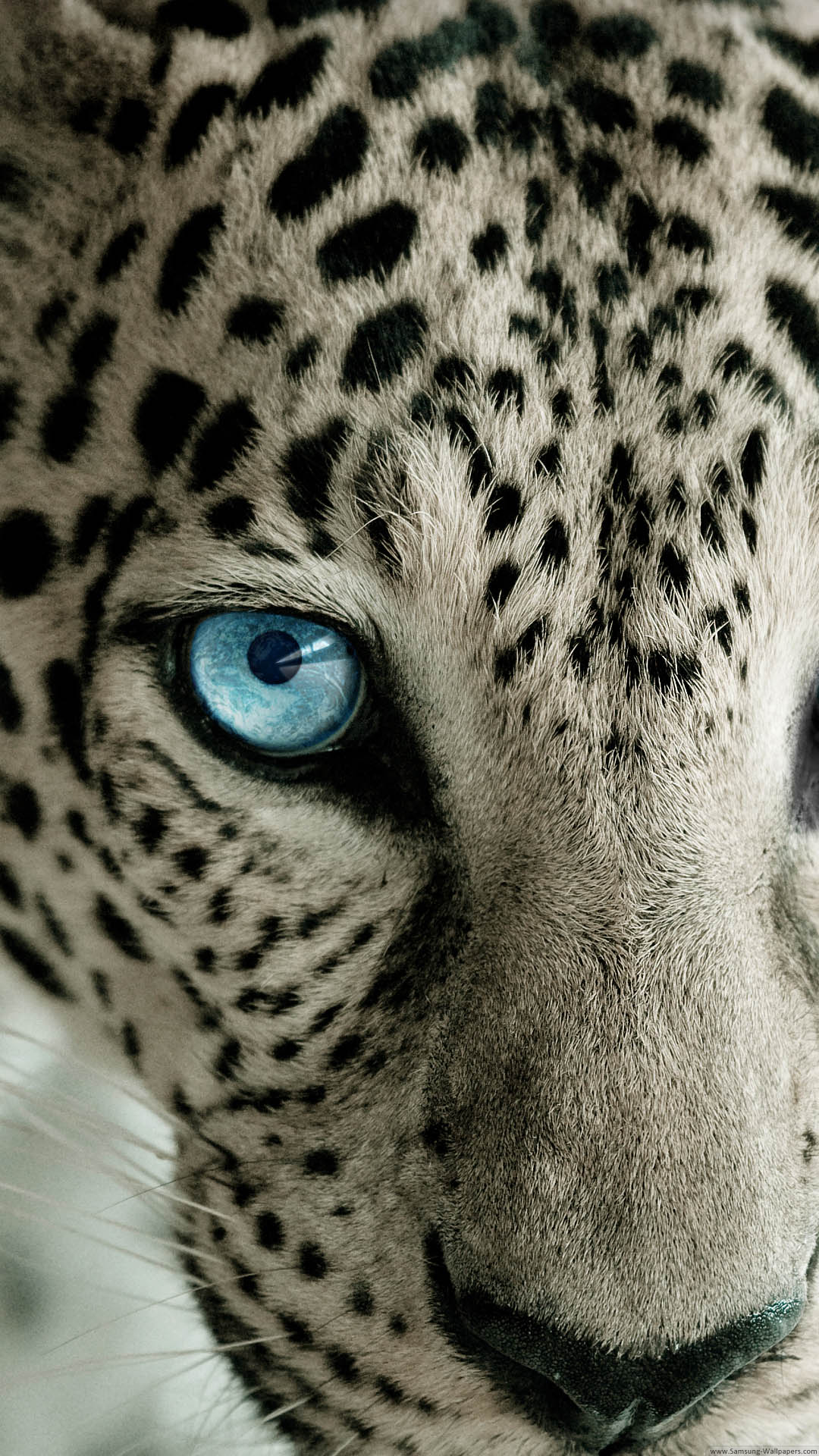 Snow-Leopard-Blue-Eye-iPhone-6-Plus-HD-Wallpaper