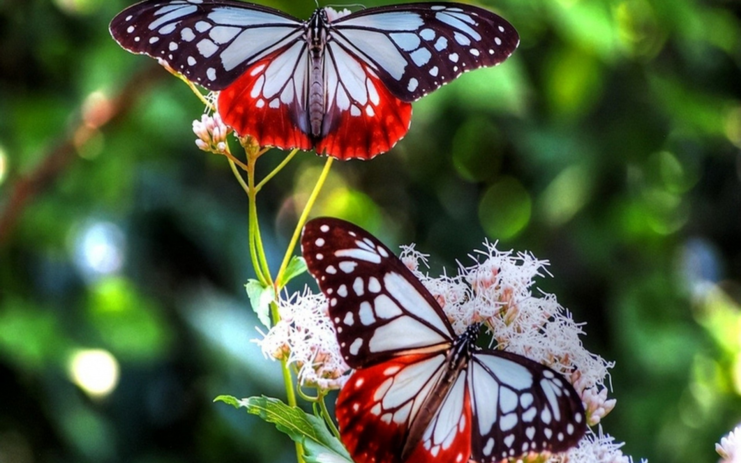 Red-Butterfly-HD-Images-Wallpapers