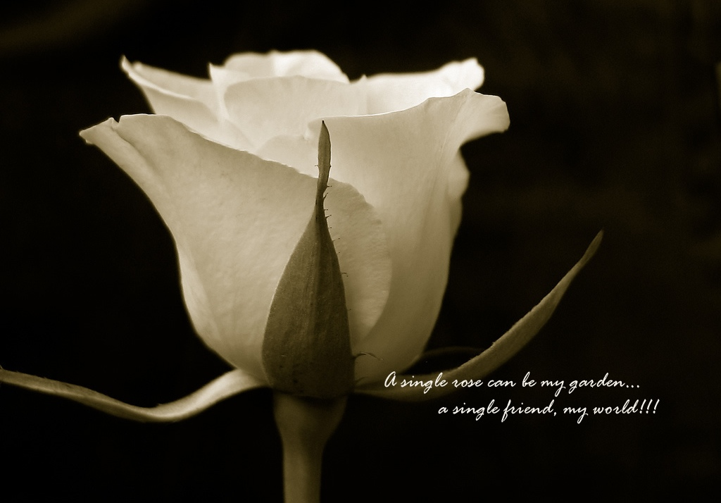 friendship-quote-rose-pictures-flower-