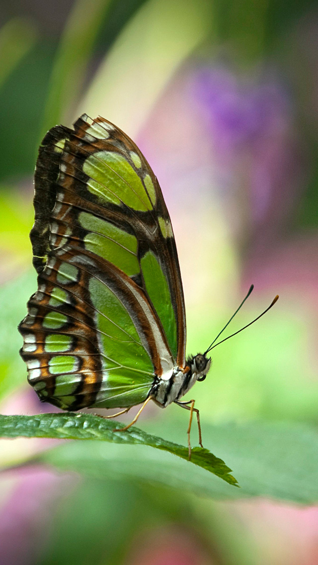Butterfly-Wallpapers-3.